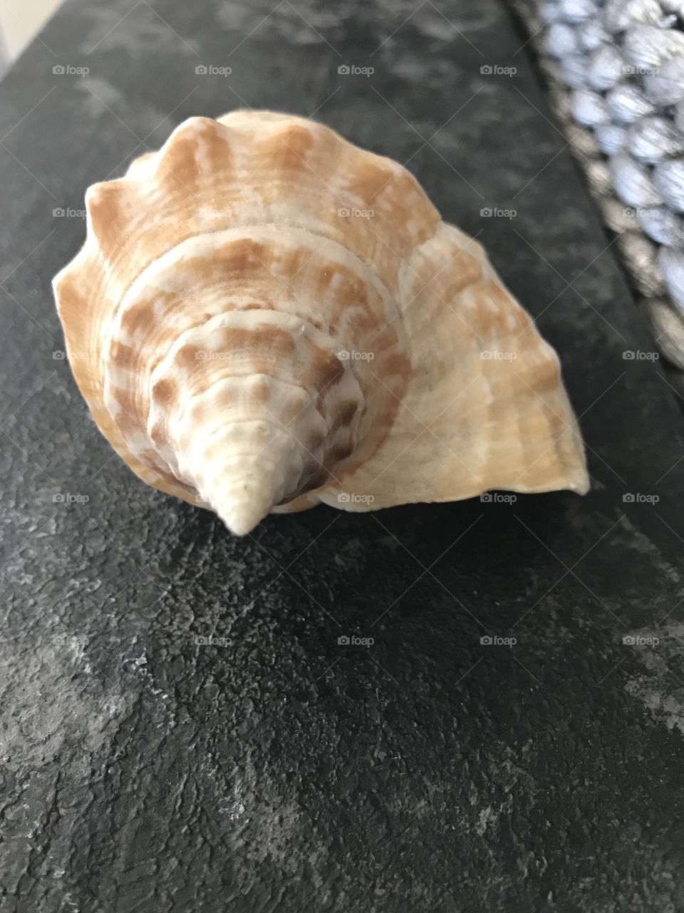 High angle view of conch shell