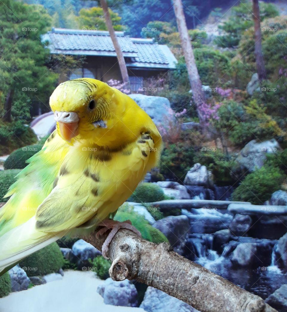 A parakeet bird around the villa