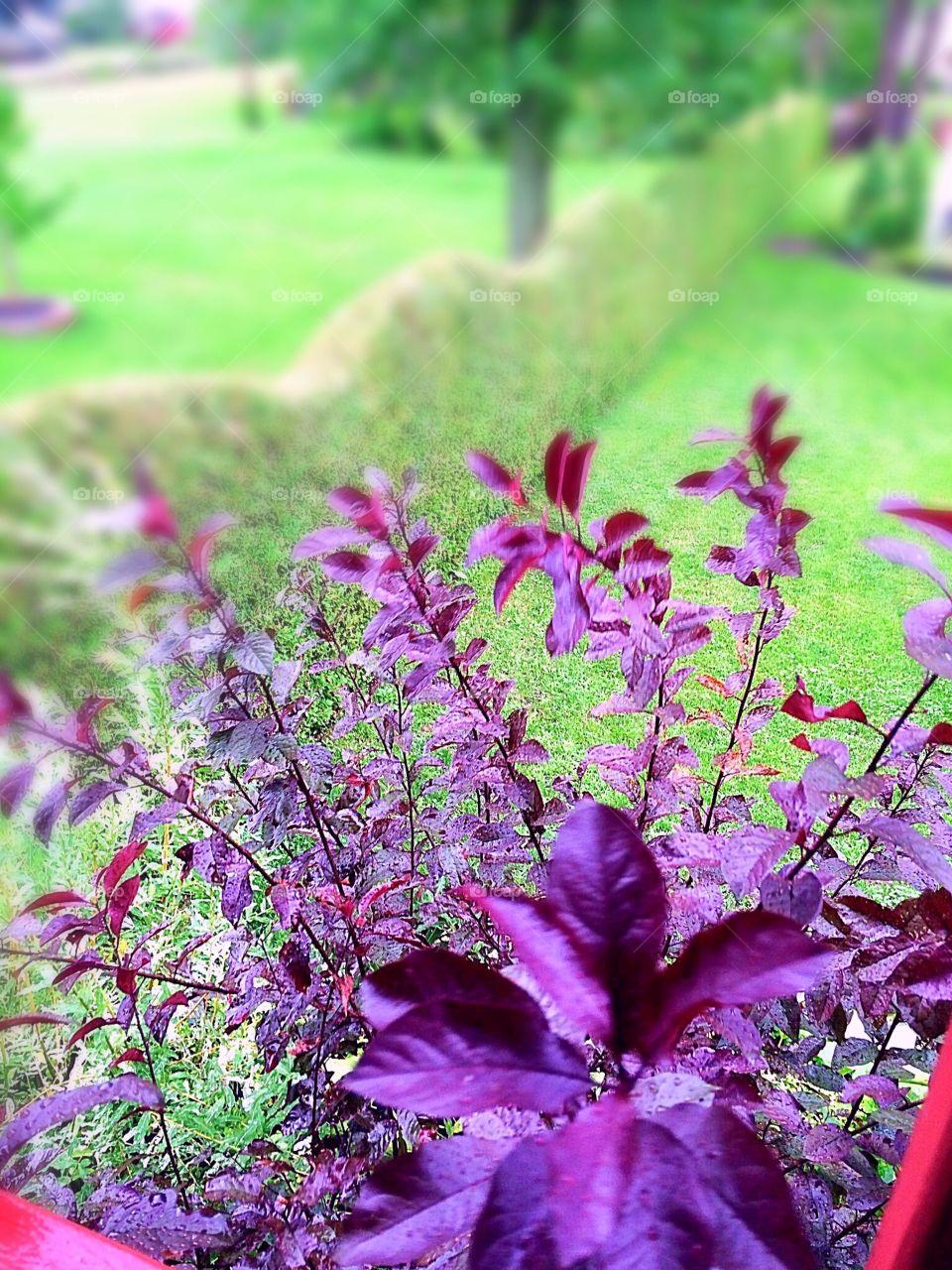 Purple Prunus