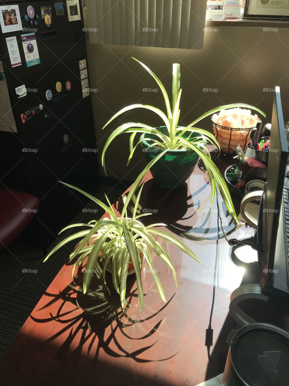Desk green spider plants in the sun at work