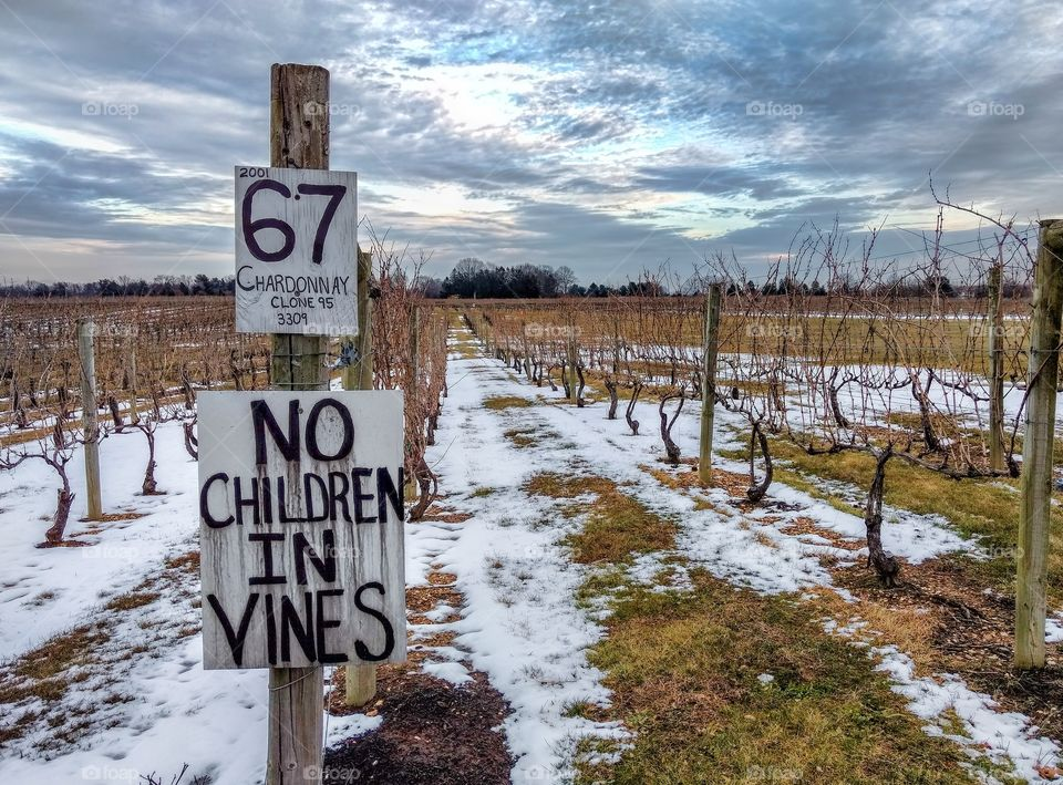Grape vineyard at Working Dog Winery in NJ in the winter