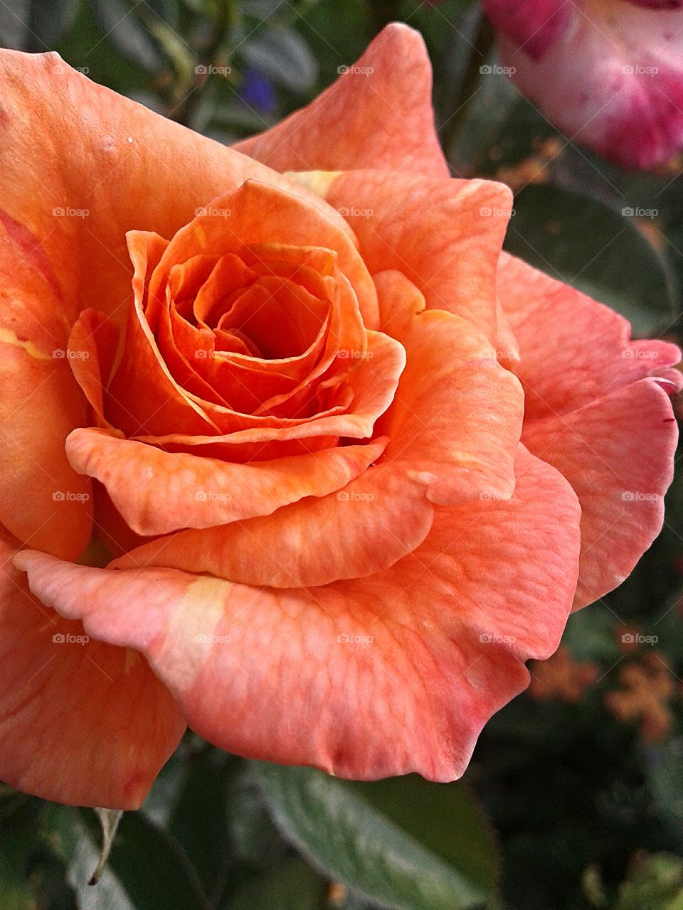 Summer heat. Hot color for a rose.