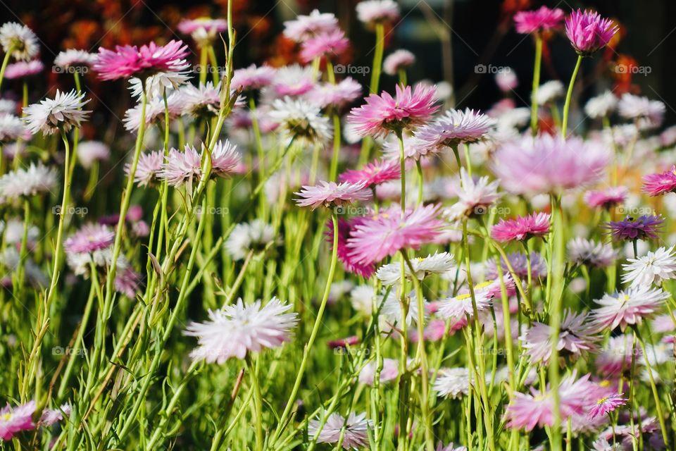 Pink sunray flowers