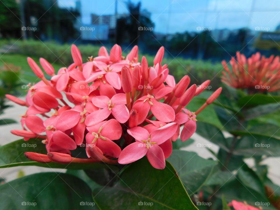 Ixora flower or Red spike flower full opened in Garden.