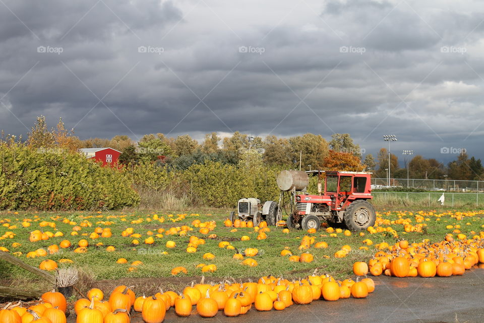 Pumpkins on the farm. A perfect country setting.