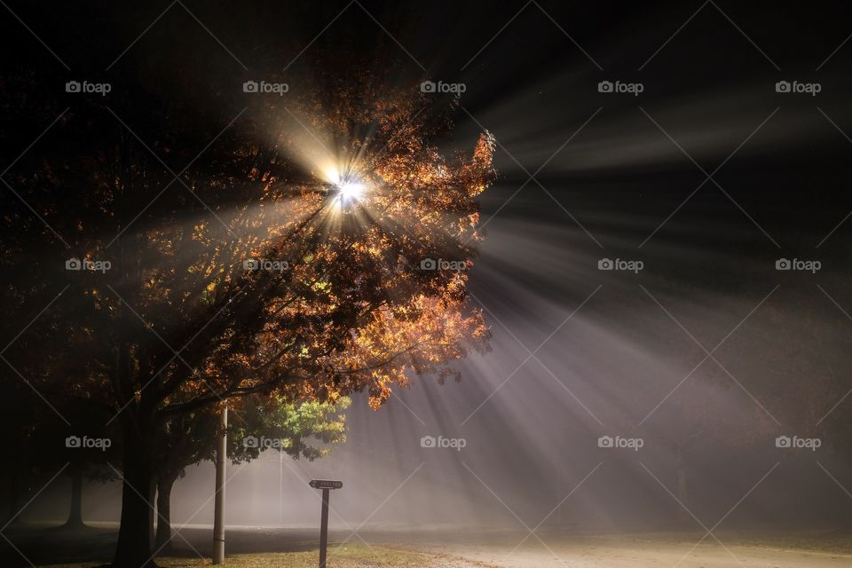 Brilliant burst of light from a street lamp blasting through the the fall foliage of a tree on a foggy morning with visible beams. Lake Benson Park in Garner North Carolina.
