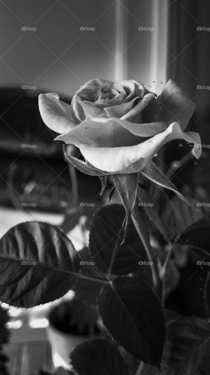 Black and white dramatic rose.