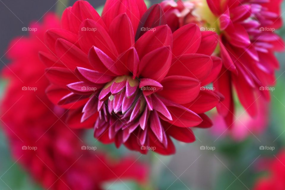 Close-up of red autumn flower