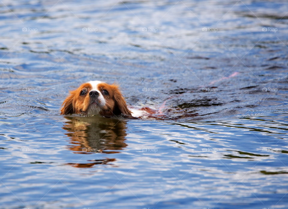 Dog having a swim in the lake on a hot summer day