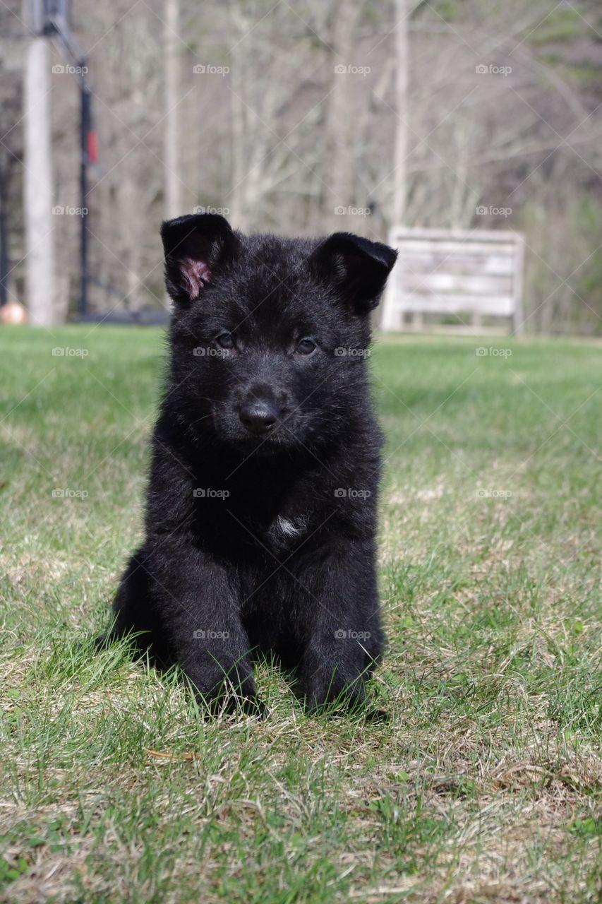 Young black German Shepherd Puppy