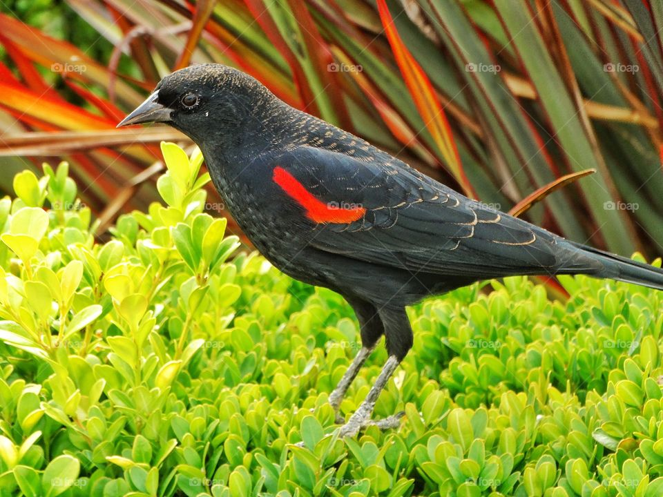 Red Wing Blackbird. Colorful Display Of A Male Red Wing Blackbird In California
