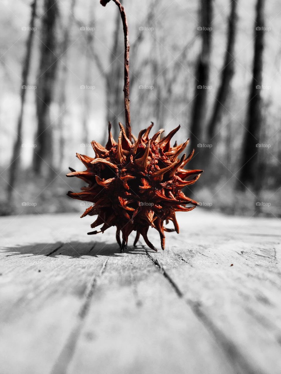 Color pop or color splash of an American Sweetgum ball vertically balanced on a plank trail the the bottomland forest of Yates Mill Park in Raleigh North Carolina, Triangle area, Wake County
