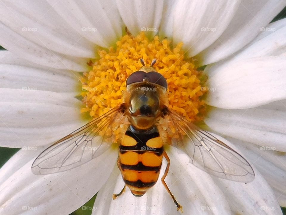 Hoverfly has landed. I'm no wasp, but my eyes are watching you