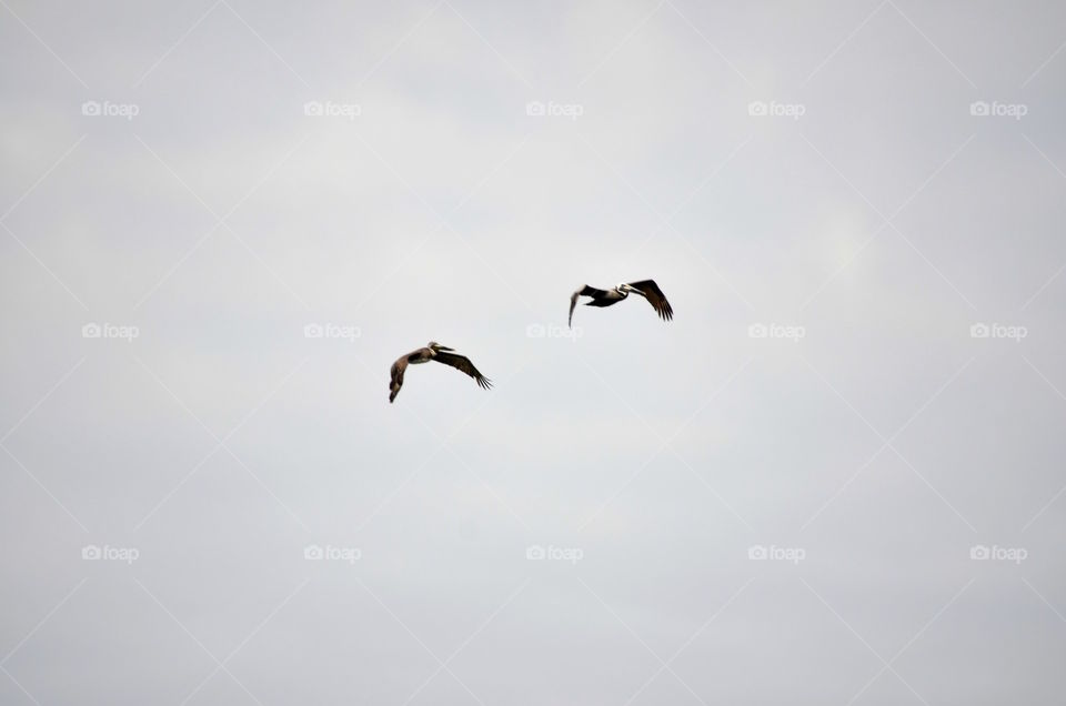 Pelicans over the Gulf of Mexico