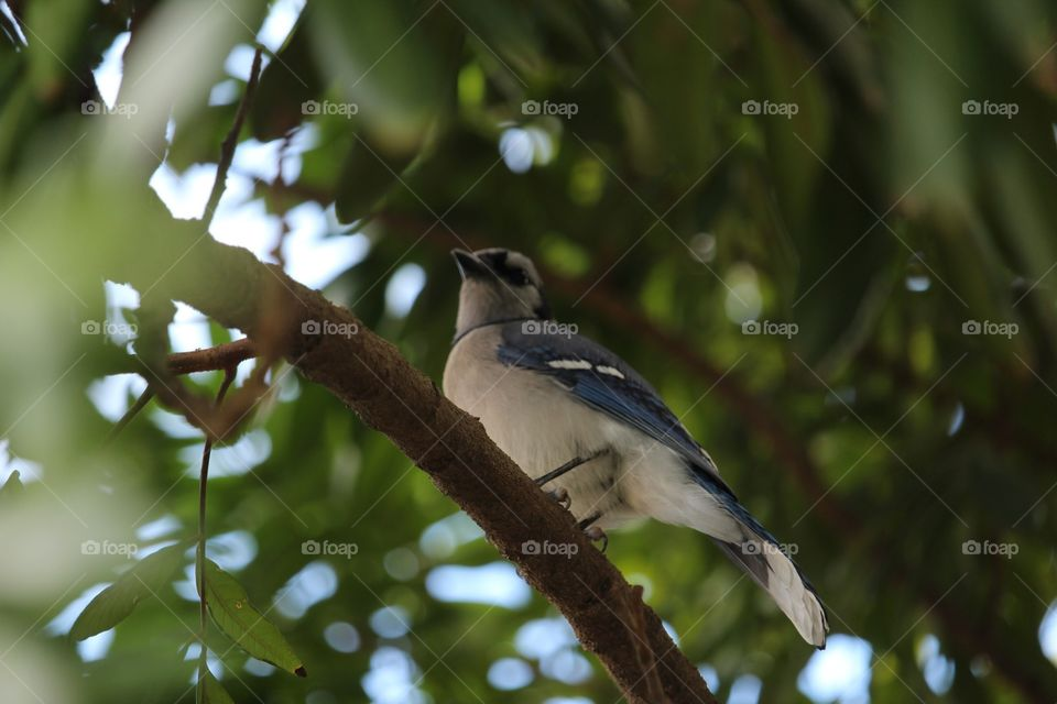 Bluejay in Miami, FL