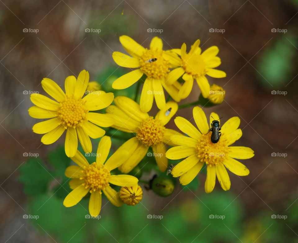 Small yellow daisies with bug