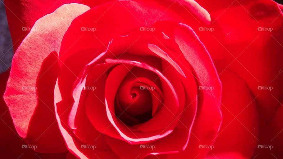 red perfection. backyard rose garden