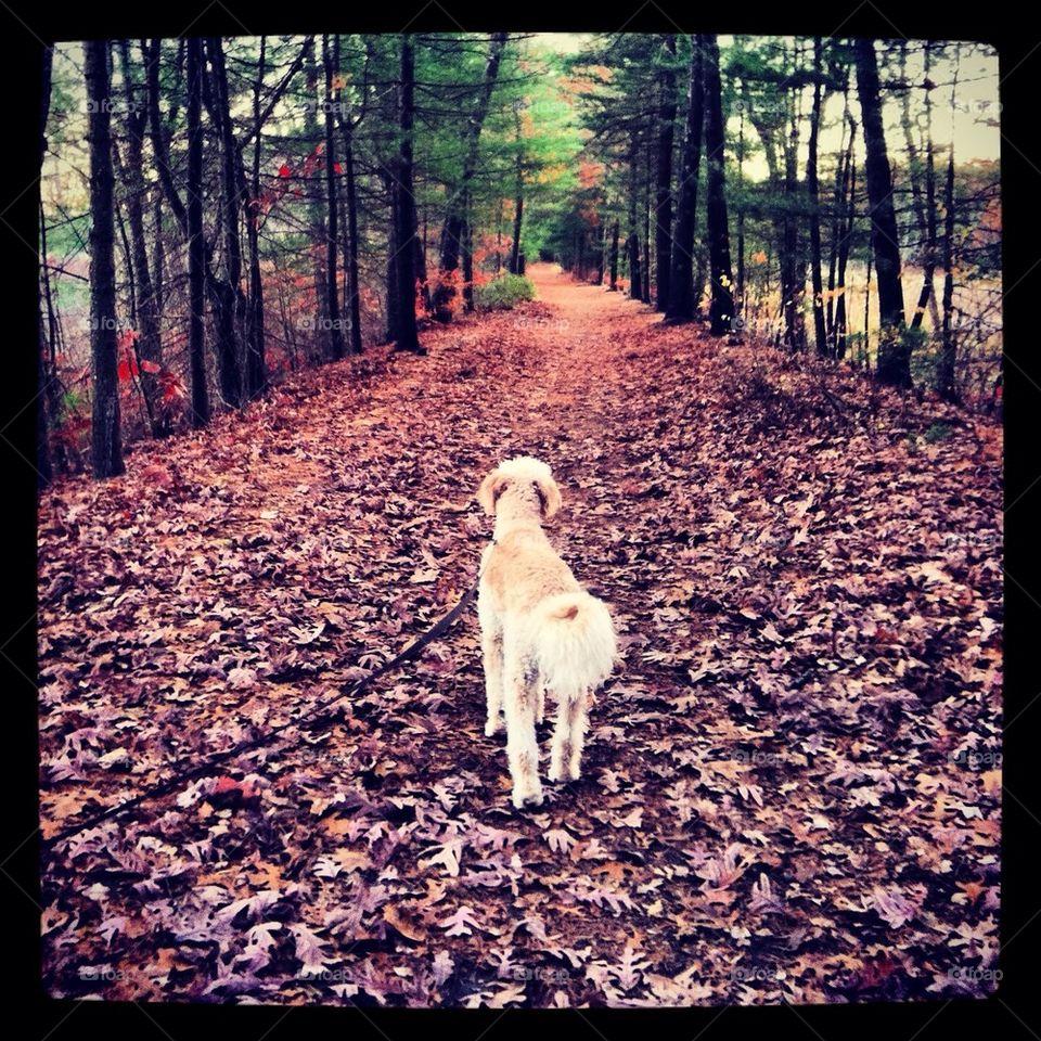 Goldendoodle walk