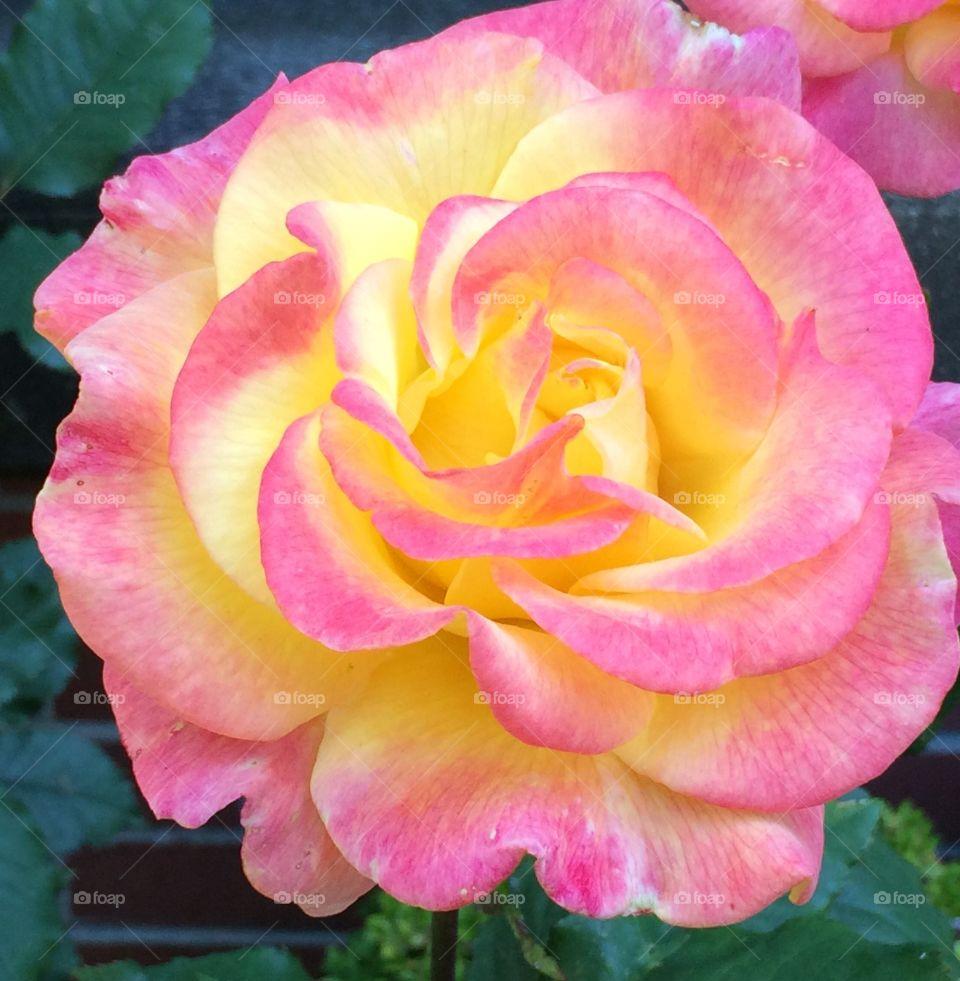 Rose. Rose growing in someone's garden.