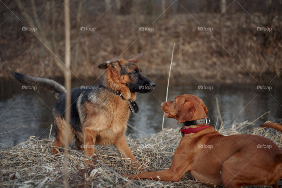 German shepherd young male dog playing with Hungarian vizsla dog outdoor at a spring evening