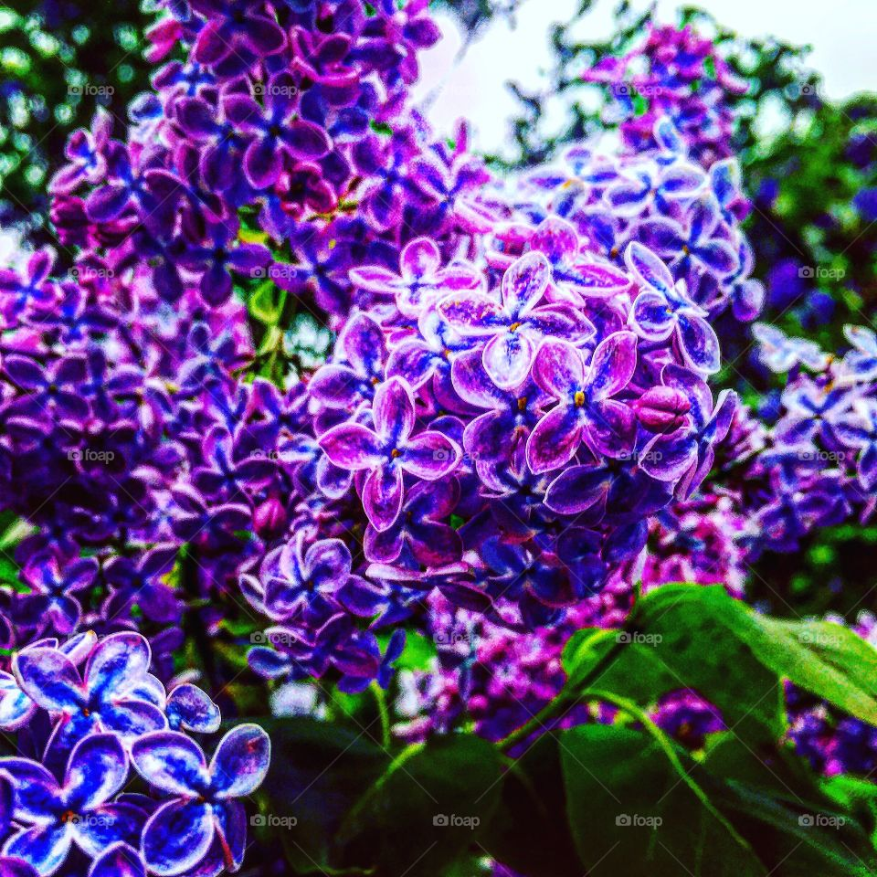 Lilac in bloom, Oil painting-mimicry