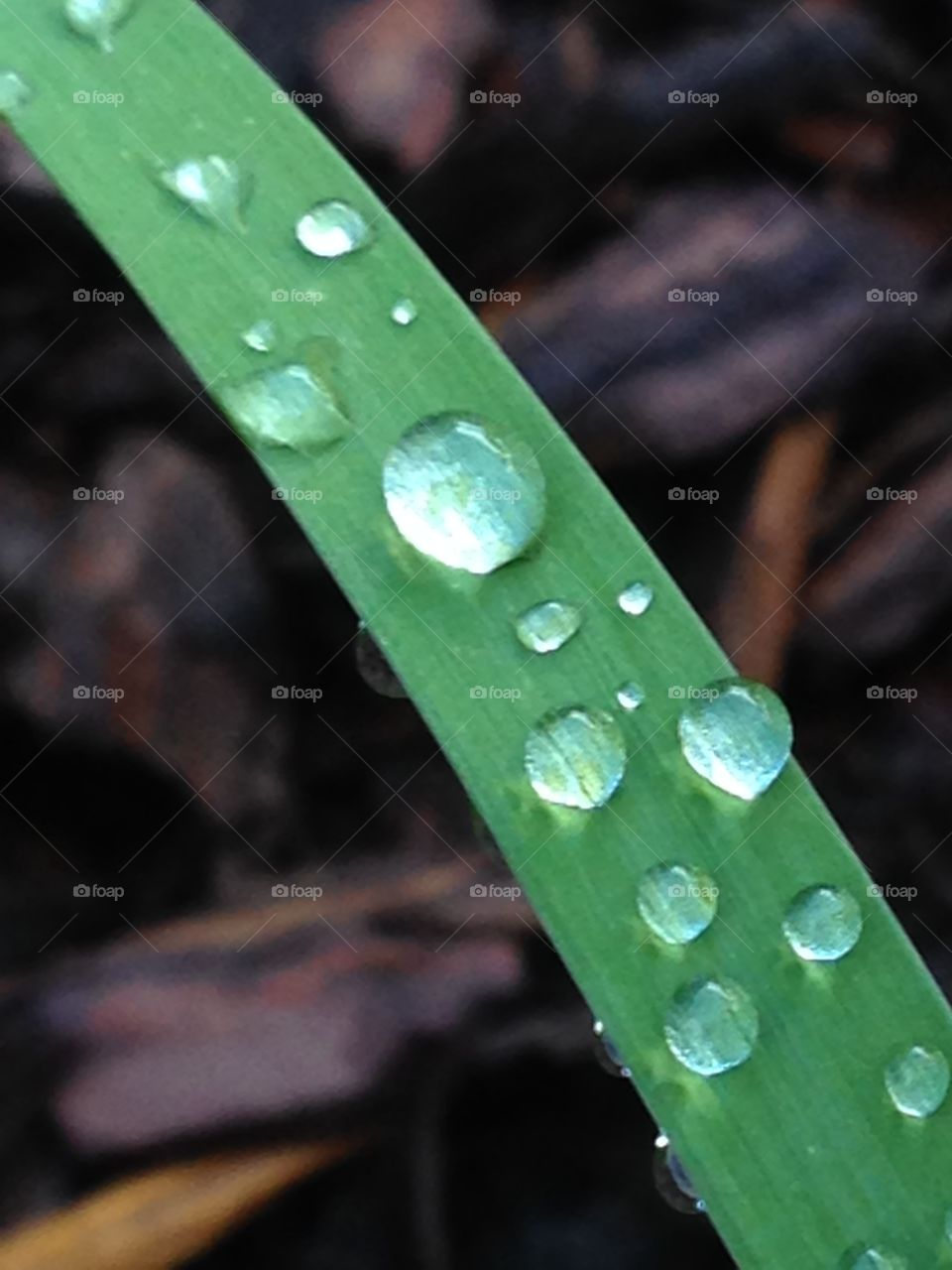 After the rain. Raindrops on a day lily stem