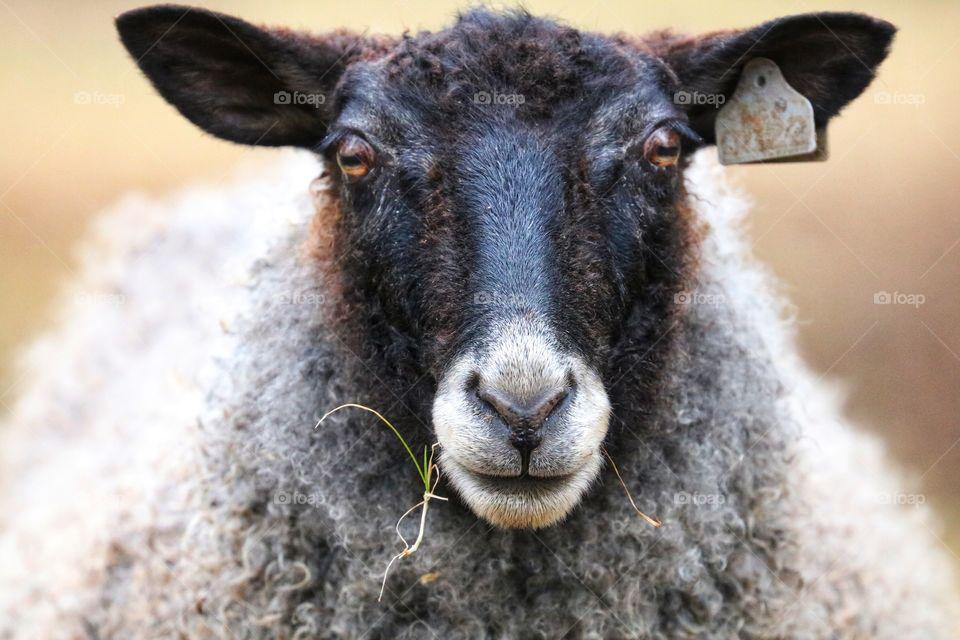 black sheep close up
