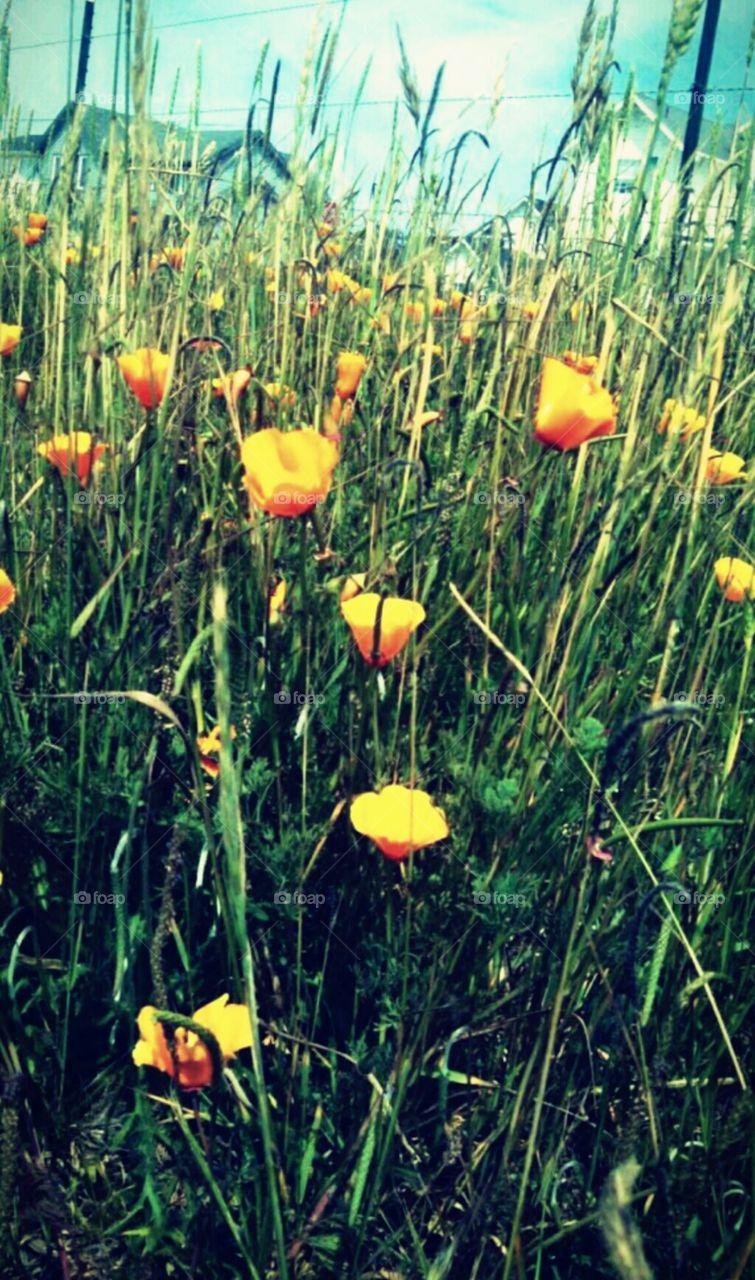 Orange and Yellow Poppies