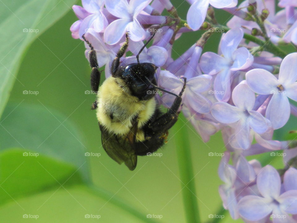 Bee pollinating Lilacs