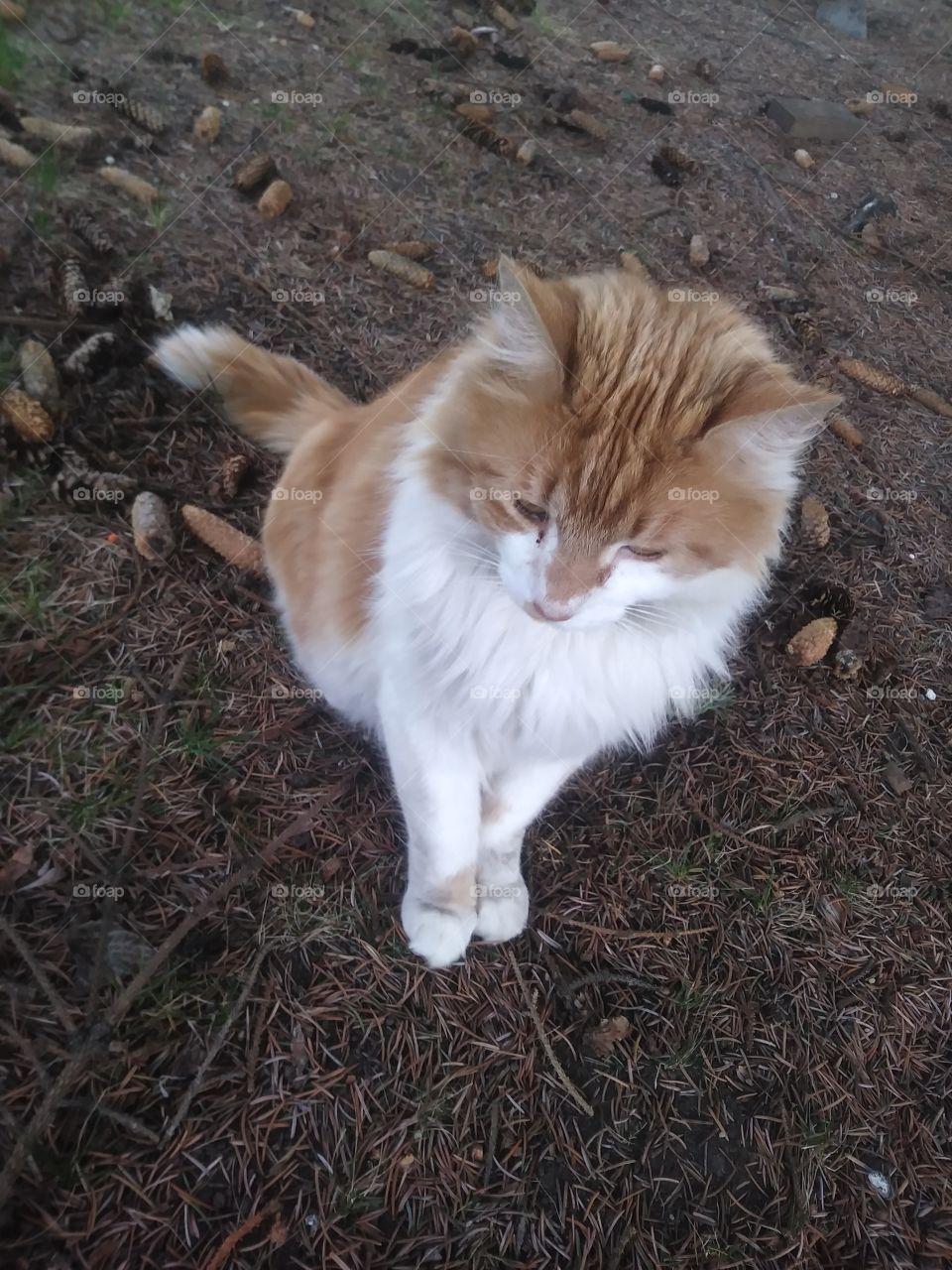 An orange and white cat named Natsu enjoying the day 😻