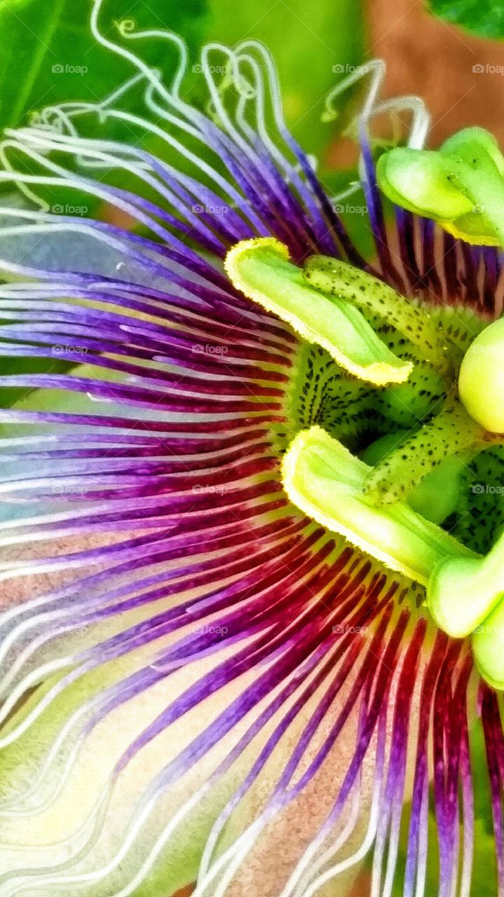 Peaceful Summer Passion Flower. Summer passion flowers in the garden.