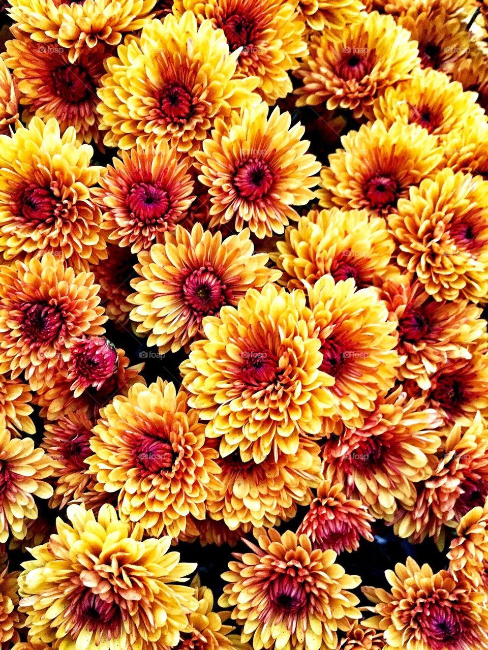 Full frame shot of chrysanthemum