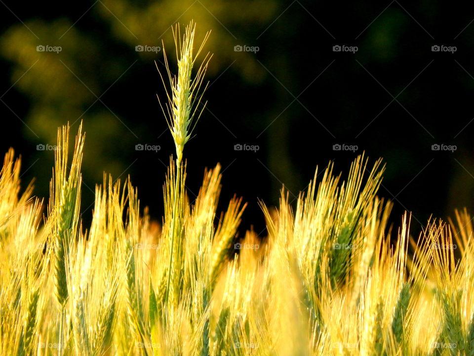 Growing wheat in the field