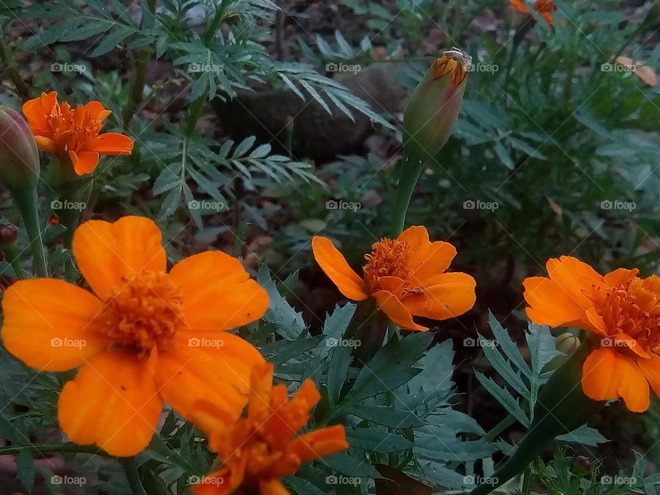 flower 2018-01-22 037  #আমার_চোখে #আমার_গ্রাম #nature #flower  #eukaryota #plantae #angiosperms #eudicots