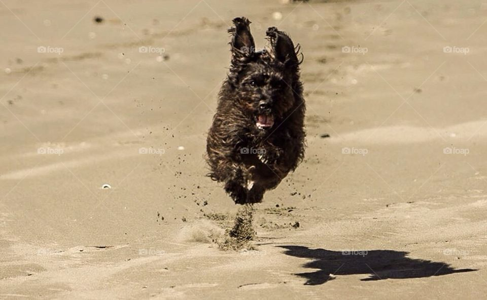 Running dog on beach