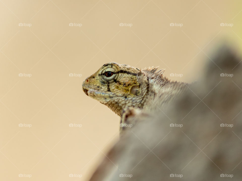 Beautiful eyes of chameleon lizard