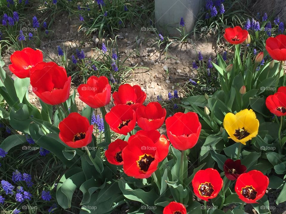 Red and Yellow Tulips with Lavender Flowers
