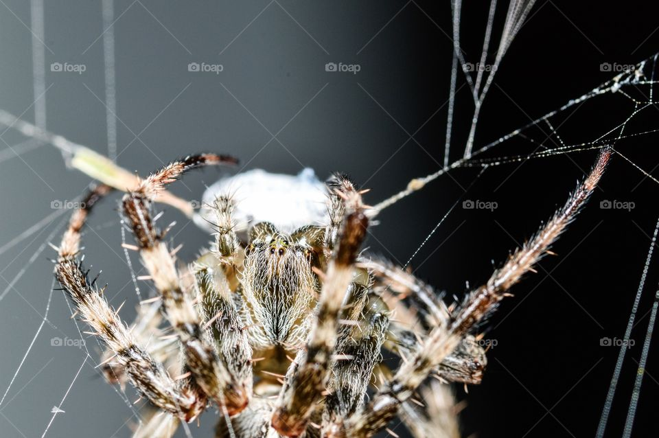 Cross Orb Weaver saving his meal for later