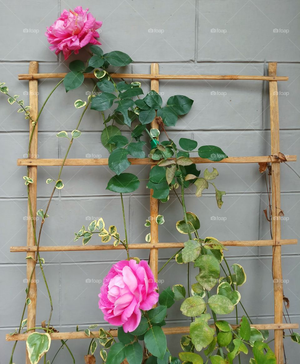 pink creeper wild roses beautifully arranged on a wooden frame