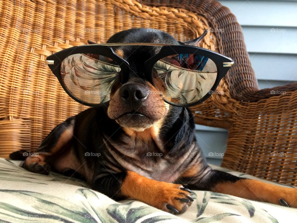 Puppy in sunglasses on sofa