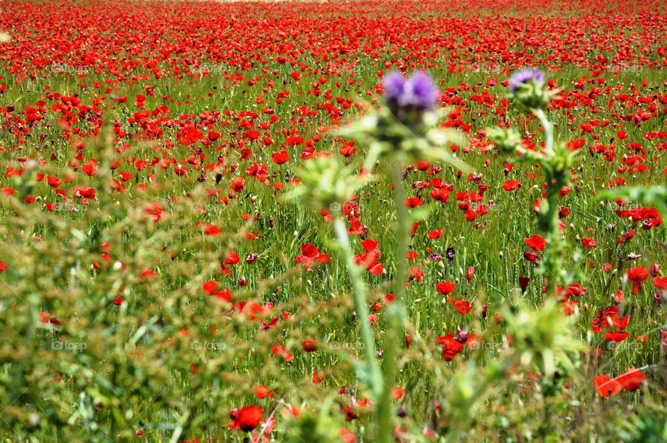 a field full off poppies, grass and some thistles