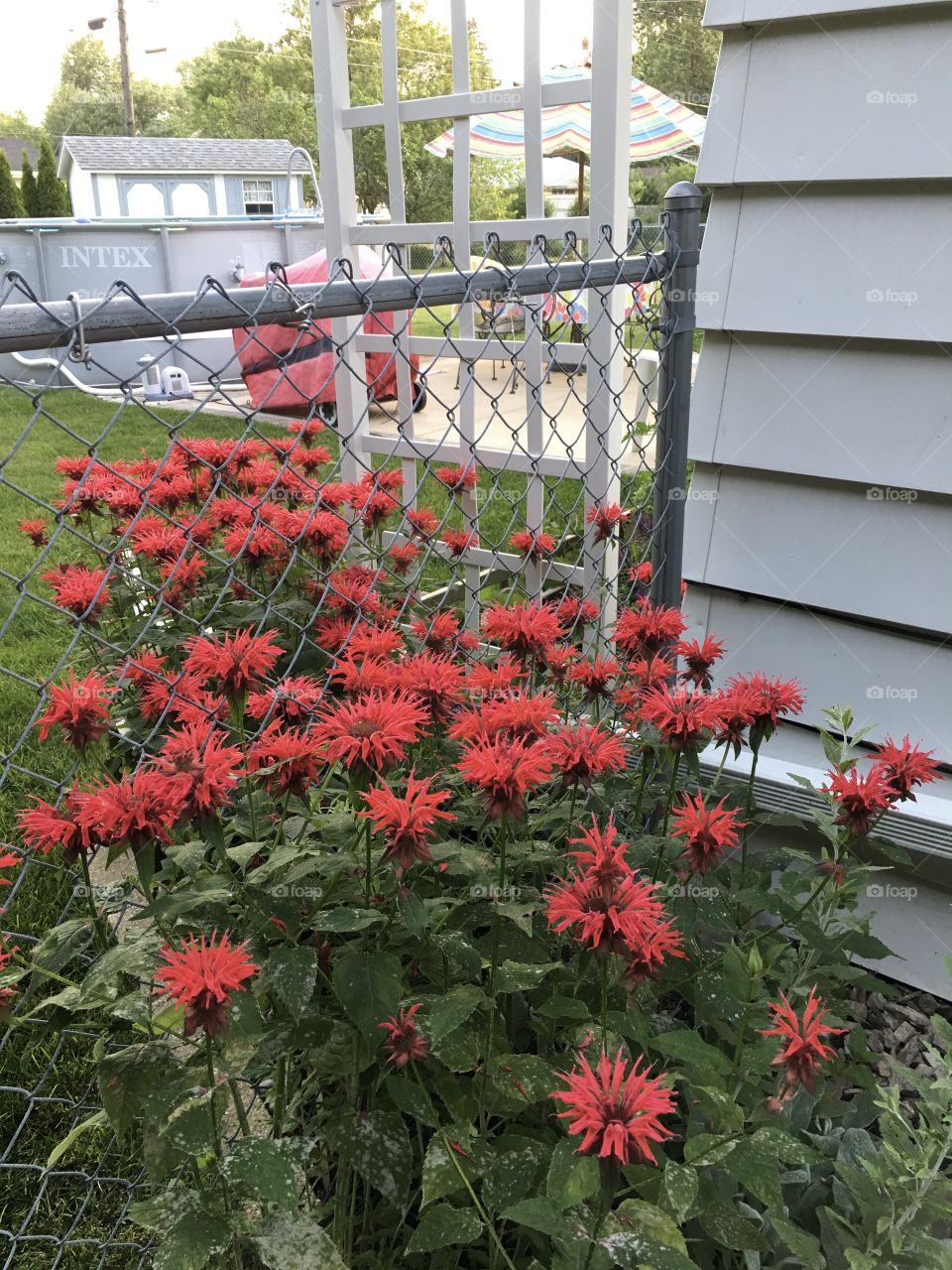 Red beebalm flowers in bloom against fence