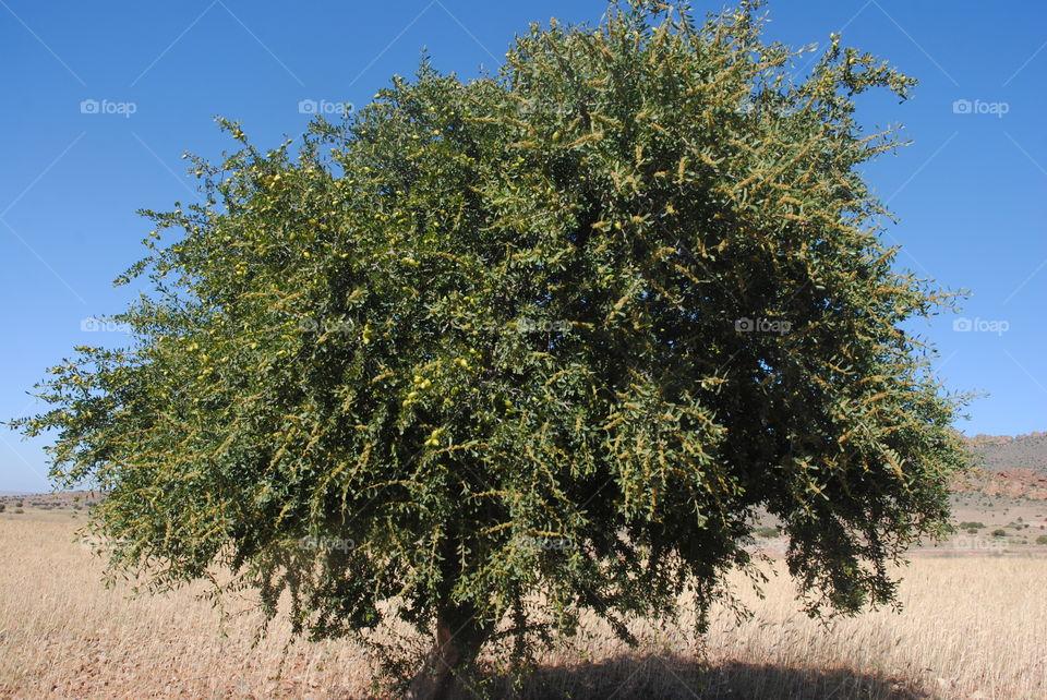 tree Argan