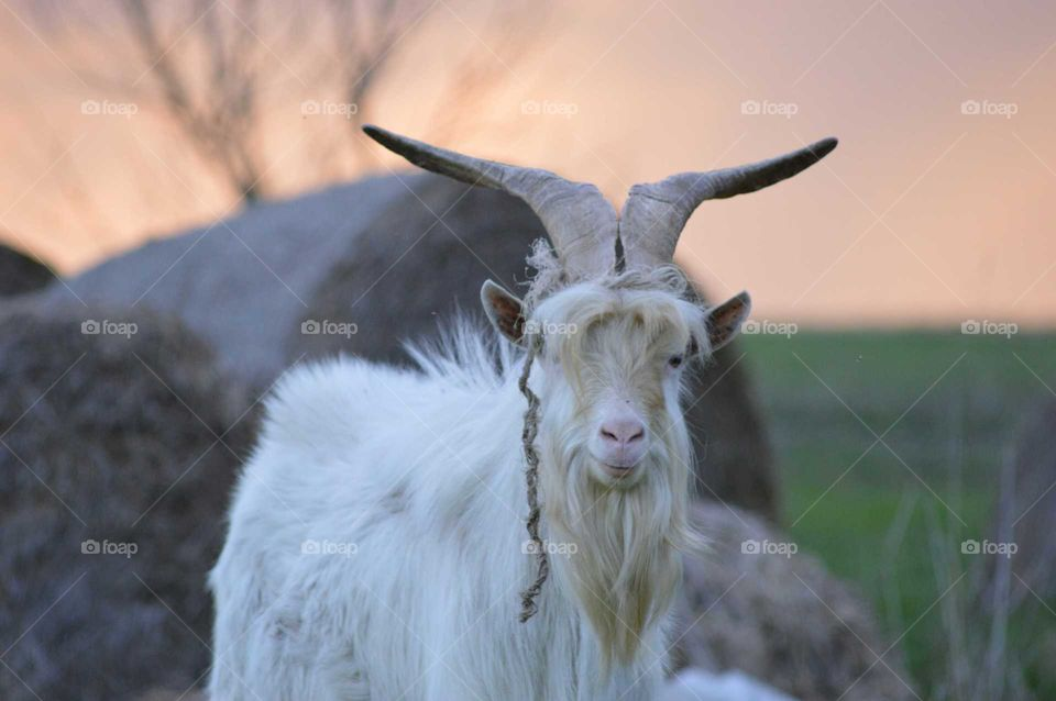 old goat with big antlers
