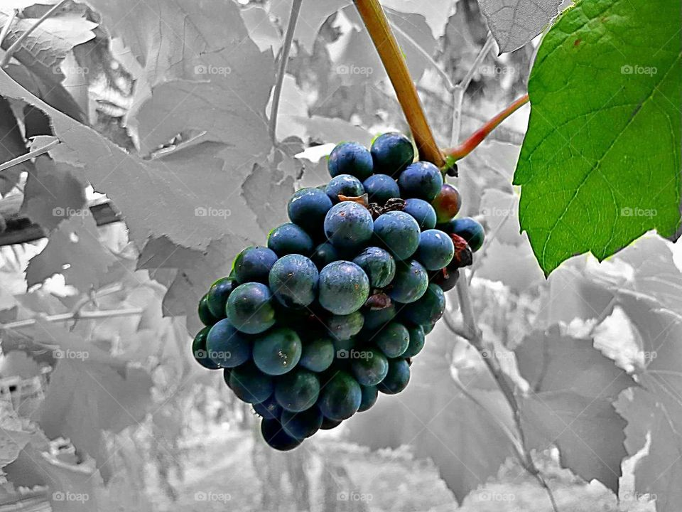 a cluster of black local and fresh grapes