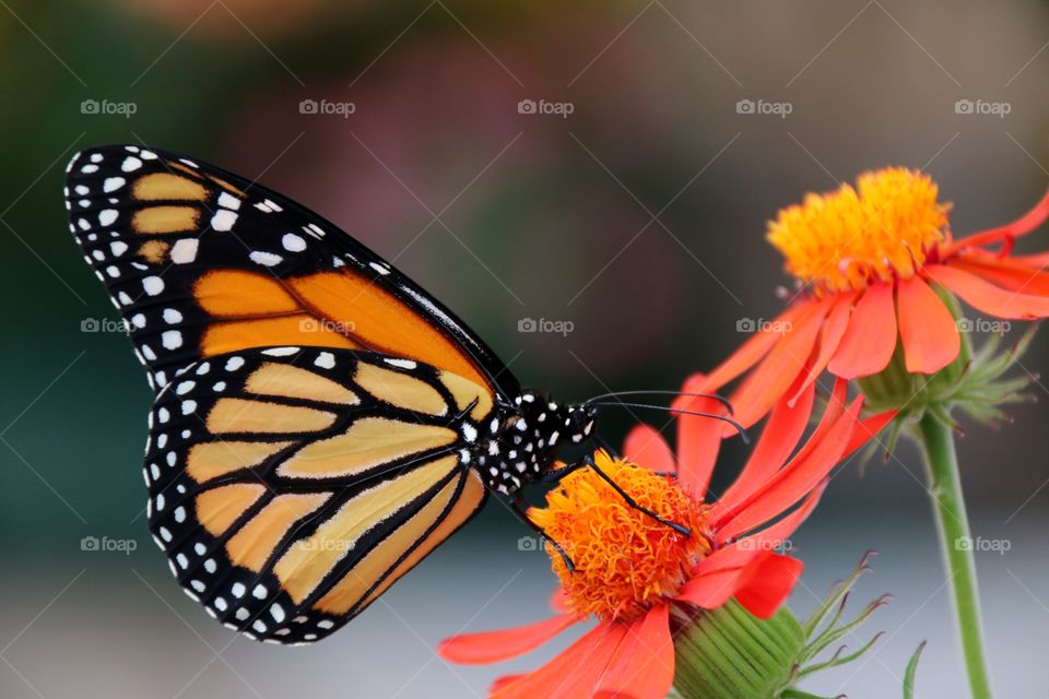 A riot of vivid orange in this macro closeup shot of a monarch butterfly on an orange tropical Flower