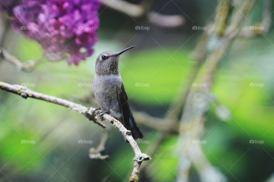 Baby hummingbird perching on a lilac branch in springtime