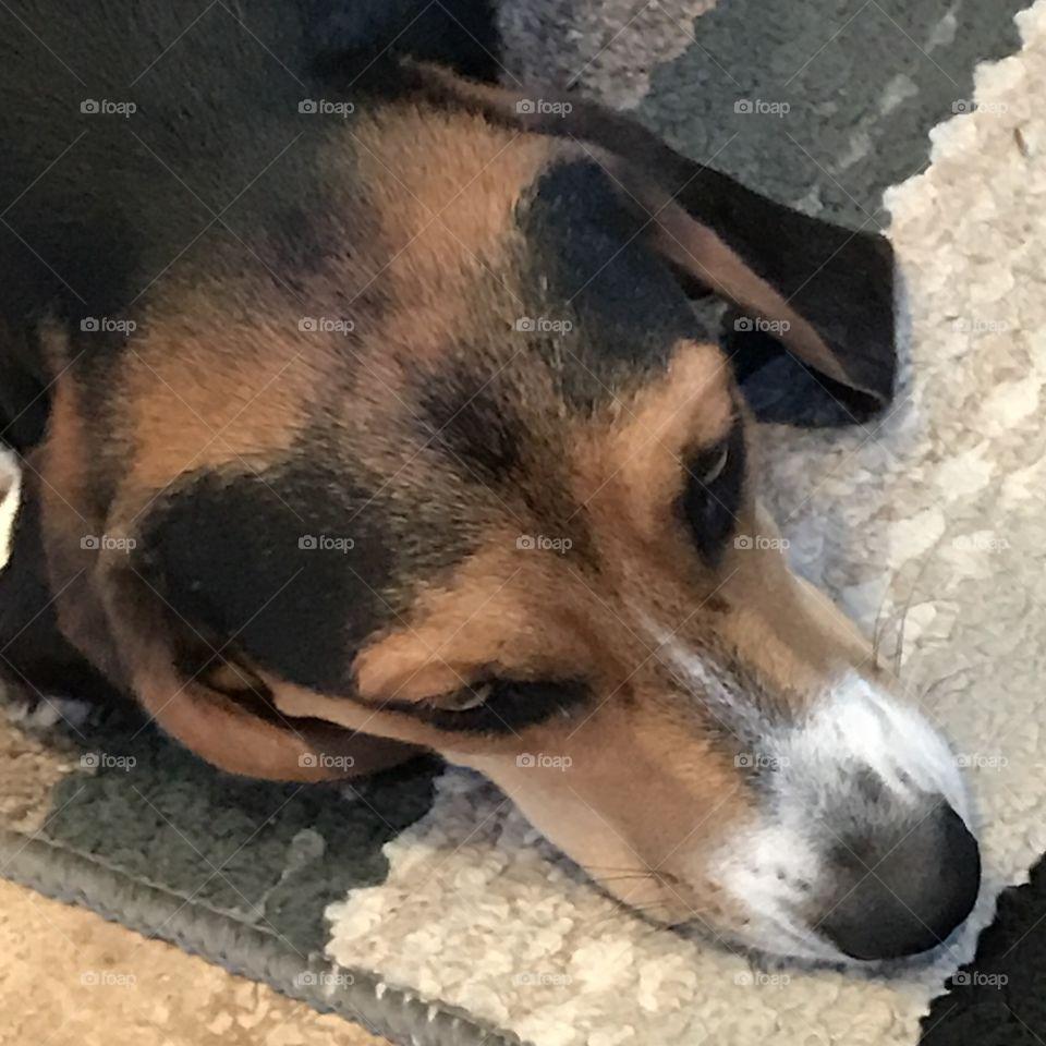 Basset hound beagle mix dog