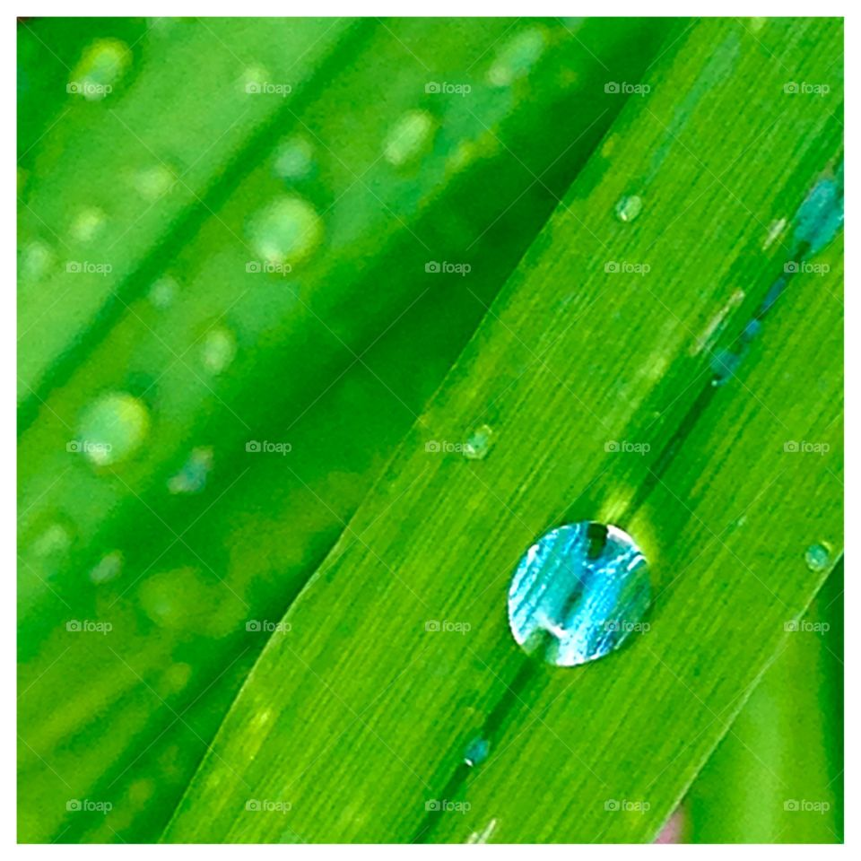 Rain Remnant. Crystal clear tiny drop of rain on new green spring growth