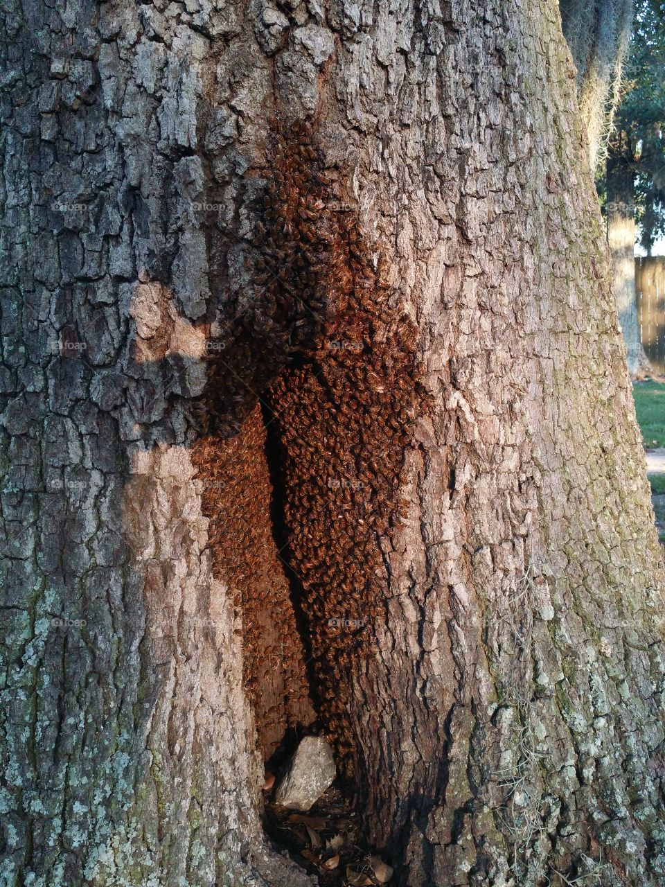 Bees in a Tree. Bees taking over a hollow in a sweet gum tree .
